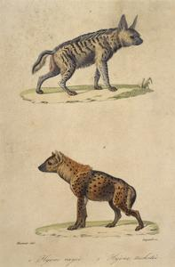 Striped and Spotted Hyena