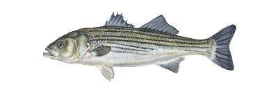 Striped Bass (Roccus Saxatilis), Fishes-Encyclopaedia Britannica-Art Print