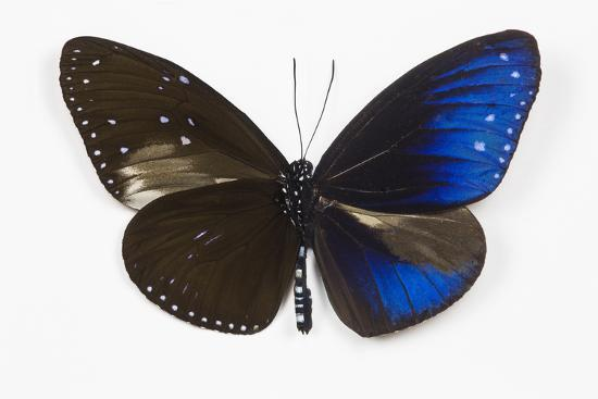 Striped Blue Crow Butterfly, Comparing to Wing and Bottom Wing-Darrell Gulin-Photographic Print