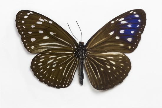 Striped Blue Crow Butterfly Female, Comparing the Top and Bottom Wings-Darrell Gulin-Photographic Print