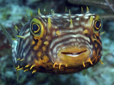 Striped Burrfish On Caribbean Reef-Stocktrek Images-Photographic Print