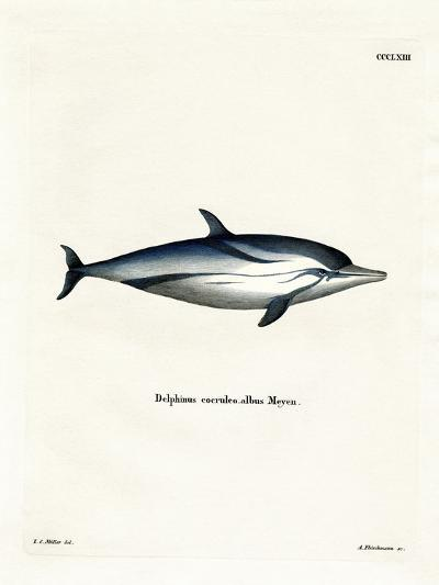 Striped Dolphin--Giclee Print