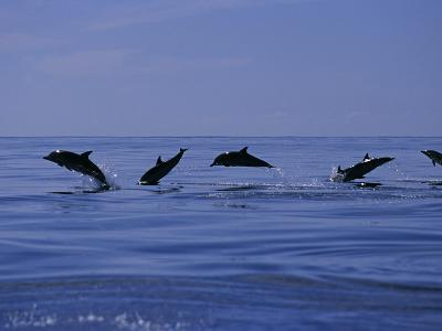 Striped Dolphins, Porpoising, Azores, Portugal-Gerard Soury-Photographic Print