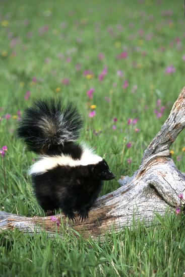 Striped Skunk in Field of Flowers, Montana-Richard and Susan Day-Photographic Print