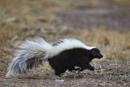 Striped Skunk (Mephitis Mephitis), Bosque Del Apache National Wildlife Refuge, New Mexico, Usa-James Hager-Photographic Print