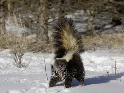Striped Skunk (Mephitis Mephitis) in Snow with Tail Raised Ready to Spray, USA-Dave Watts-Photographic Print