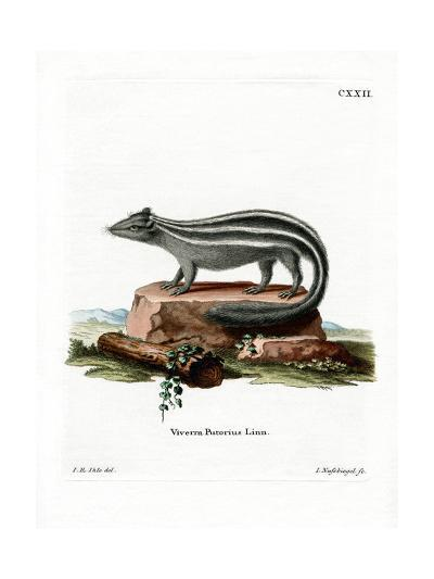 Striped Skunk--Giclee Print