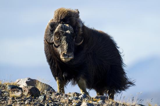 Strong Arctic Winds Billowing the Long Shaggy Coat of a Musk Ox Standing on a Tundra Hilltop-Jason Edwards-Photographic Print
