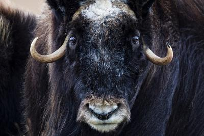 Strong Arctic Winds Send the Shaggy Coat of a Musk Ox Flying-Jason Edwards-Photographic Print