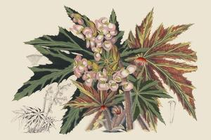 Begonia Varieties I by Stroobant