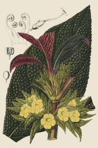 Begonia Varieties II by Stroobant