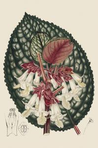 Begonia Varieties III by Stroobant
