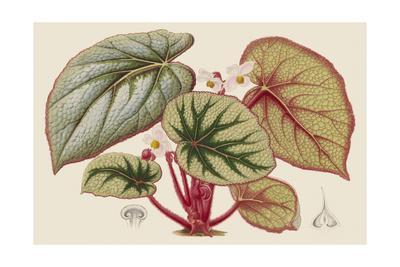 Begonia Varieties IV