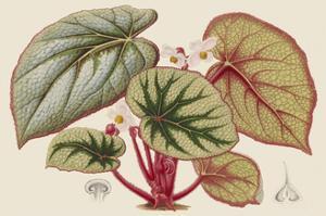 Begonia Varieties IV by Stroobant