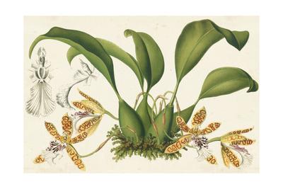 Graceful Orchids II