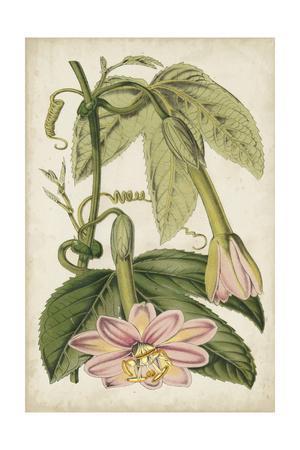Passion Flower Botanical