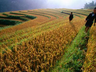 Ethnic Black H'Mong Live in Mountains of North, Cultivating Corn, Rice and Medicinal Plants
