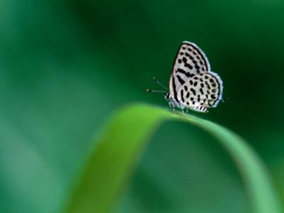Spotted Pierrot Butterfly, Jomtien, Chonburi, Thailand