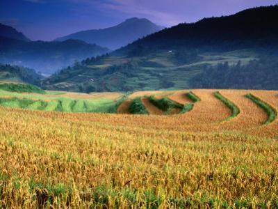 Wet Rice Is Commonly Grown in Terraced Mountain Valley of Northern Vietnam, Sapa, Lao Cai, Vietnam