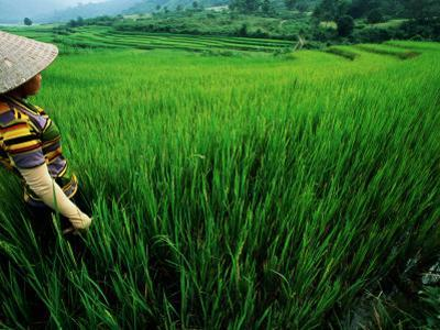 Wet Rice Is Commonly Grown in Terraced Mountain Valleys of Northern Vietnam, Tran Nua
