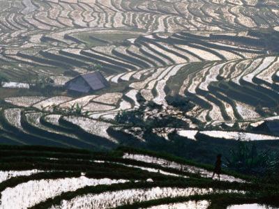 Wet Rice Is Grown in Terraced Mountain Valleys of Northern Vietnam, Sapa, Lao Cai, Vietnam
