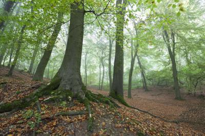 Autumnal Woodland in Mist, Near Winchcombe, Cotswolds, Gloucestershire, England by Stuart Black
