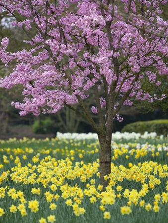 Daffodils and Blossom in Spring, Hampton, Greater London, England, United Kingdom, Europe by Stuart Black