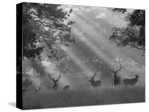 Deer in Morning Mist, Woburn Abbey Park, Woburn, Bedfordshire, England, United Kingdom, Europe by Stuart Black