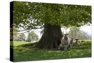 Ewes and Lambs under Shade of Oak Tree, Chipping Campden, Cotswolds, Gloucestershire, England