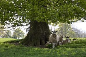 Ewes and Lambs under Shade of Oak Tree, Chipping Campden, Cotswolds, Gloucestershire, England by Stuart Black