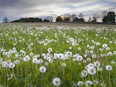 Field of Dandelion Seedheads Near Stow on the Wold, Gloucestershire, Cotswolds, England, United Kin by Stuart Black