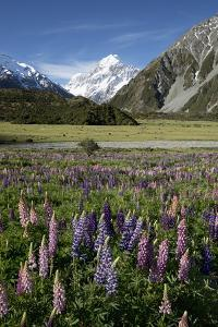 Lupins and Mount Cook, Mount Cook Village, Mount Cook National Park by Stuart Black
