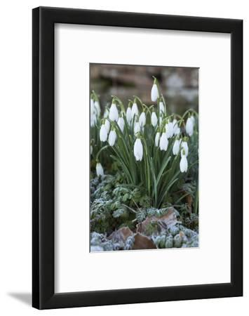 Snowdrops in Frost, Cotswolds, Gloucestershire, England, United Kingdom, Europe