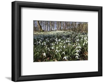 Snowdrops in Woodland, Near Stow-On-The-Wold, Cotswolds, Gloucestershire, England, UK
