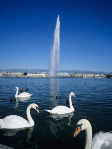 Swans Below the Jet D'Eau (Water Jet), Geneva, Lake Geneva (Lac Leman), Switzerland, Europe by Stuart Black