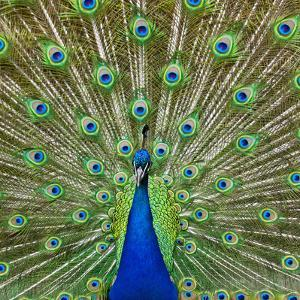 Peacock Displaying its Colorful Feathers by Stuart Dee