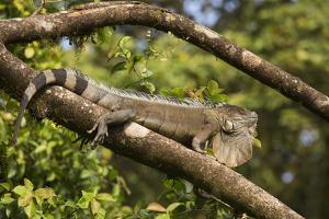 A Green Iguana (Iguana Iguana) (Common Iguana) (American Iguana), in the Jungle of Costa Rica by Stuart Forster