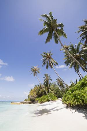 Palm trees lean over white sand, under a blue sky, on Bandos Island in The Maldives, Indian Ocean,