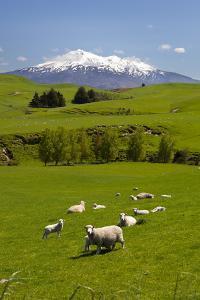 Sheep Grazing Beneath Mount Ruapehu by Stuart