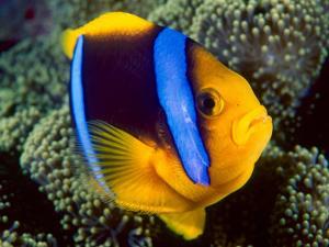 Anemonefish, Great Barrier Reef, Australia by Stuart Westmoreland