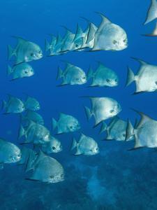 Atlantic Spadefish, Hol Chan Marine Park, Ambergris Caye, Barrier Reef, Belize by Stuart Westmoreland