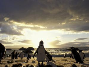 Black-Footed Penguins on the Beach, South Africa by Stuart Westmoreland