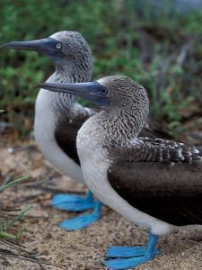 Blue-Footed Boobies of the Galapagos Islands, Ecuador by Stuart Westmoreland