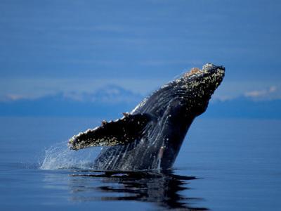 Breaching Humpback Whale, Inside Passage, Southeast Alaska, USA