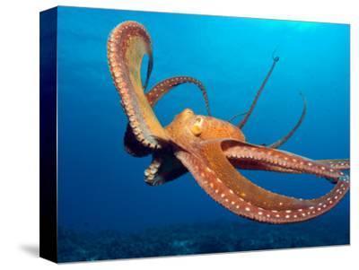 Day Octopus, near Kona, Big Island, Hawaii, USA