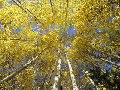Fall-Colored Aspen Trees, Stevens Pass, Washington, USA