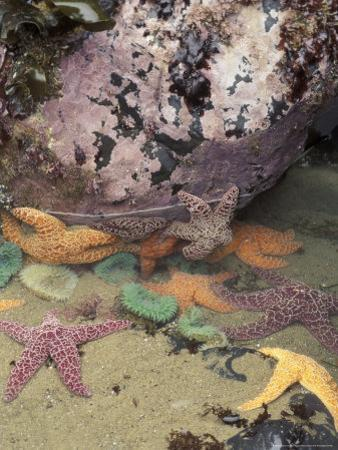 Giant Green Anemones and Ochre Sea Stars, Cape Kiwanda State Park, Oregon, USA by Stuart Westmoreland