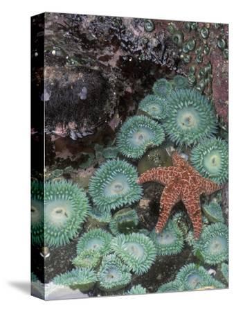 Giant Green Anemones and Ochre Sea Stars, Oregon, USA