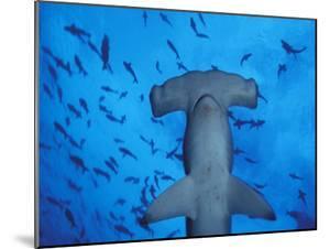 Hammerhead Shark from Below, Galapagos Islands, Ecuador by Stuart Westmoreland