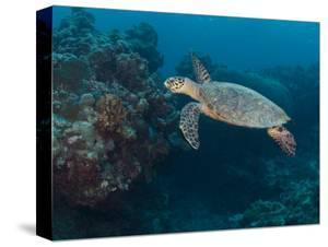 Hawksbill Turtle, Palau, Micronesia, Rock Islands, World Heritage Site, Western Pacific by Stuart Westmoreland